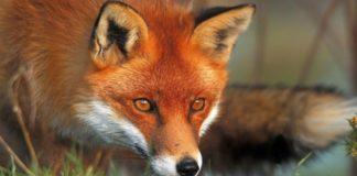 Шукаємо лисицю на фото: тест на уважність і швидкість пошуку - today.ua